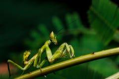 Mantis на траве Стоковые Изображения RF