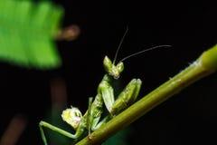 Mantis на траве Стоковое фото RF