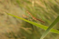 Mantis религиозный Стоковая Фотография RF