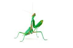 Mantis смотря нас Стоковая Фотография