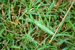 mantis травы Стоковые Изображения RF