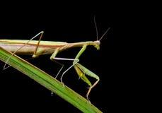 mantis травы 3 лезвий Стоковое фото RF