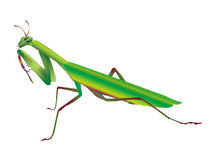 Mantis Stock Photos