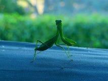 mantis Immagine Stock