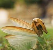 mantis Lizenzfreie Stockbilder