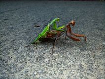 mantis Стоковое Фото