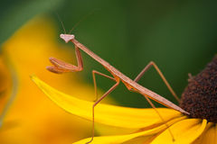 Mantis. A mantis on a flower Royalty Free Stock Photo