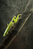 Mantis photo libre de droits