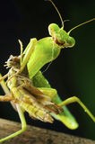 Mantis images stock