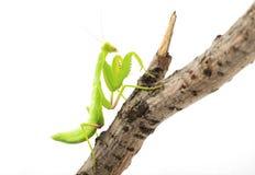 Mantis Royalty Free Stock Photography