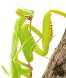 Mantis Stock Image