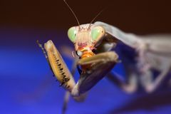 Mantis Stock Photography