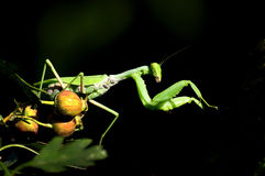 Mantis. A green mantis on a black background where prey Royalty Free Stock Images