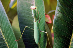 Mantis. Royalty Free Stock Image