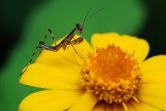 Mantis Photos libres de droits