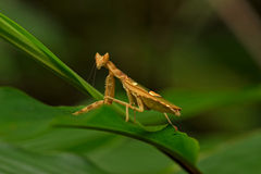 Mantis Stockbild