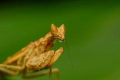 mantis Стоковые Изображения