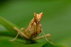 Mantis Lizenzfreies Stockfoto