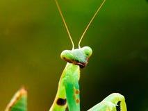 mantis royalty-vrije stock foto's