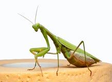 Mantis Photographie stock