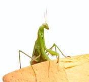 Mantis Photographie stock libre de droits