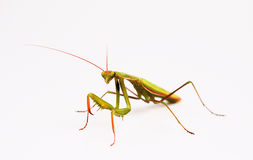 Mantis. Isolated on white background Stock Photos