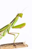 Mantis. Royalty Free Stock Images