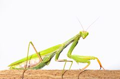 Mantis. Stock Images