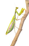 Mantis. Stock Photography