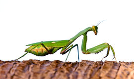 Mantis. A Mantis on white background Stock Photography
