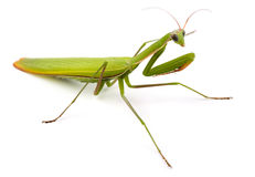 Mantis. Praying mantis (Mantis religiosa) on white Stock Photos