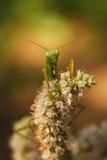 Mantis Imagem de Stock Royalty Free