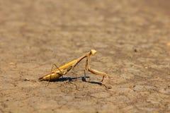Mantis Immagini Stock