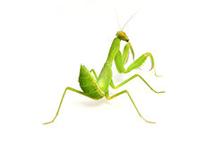 Mantis stockfoto