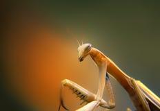 Mantis Royalty Free Stock Photos