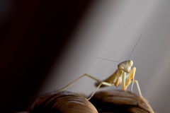 Mantis. On a dark background Stock Photos