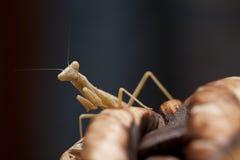 mantis Стоковая Фотография