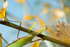 Mantis Royalty Free Stock Photography