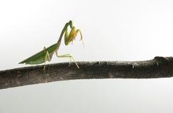 Mantis photo stock