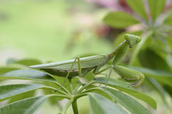 Mantis stockbild