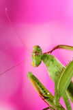 Mantis. Portrait of an european green mantis on colored background Stock Photos