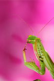 Mantis. Portrait of an european green mantis on colored background Stock Image