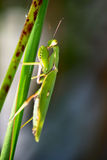 Mantis. In green leaves, selective focus on predator's eyes, Bali, Indonesia Royalty Free Stock Images