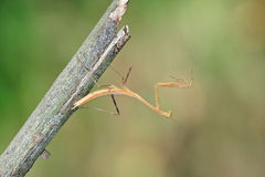 Mantis. Beautiful mantis stay on branches stock images