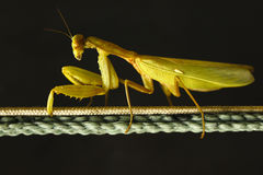 Mantis. On a string.Brightly feeling Stock Photo
