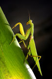 Mantis. Praying mantis with green leaf - mantis religiosa Stock Photography
