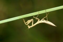 mantis Стоковые Изображения RF