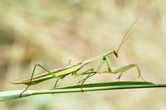 mantis Стоковые Фото
