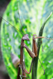 Mantis στο πράσινο φύλλο Στοκ Φωτογραφίες