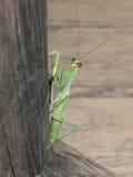 белизна mantis предпосылки моля Стоковые Изображения RF